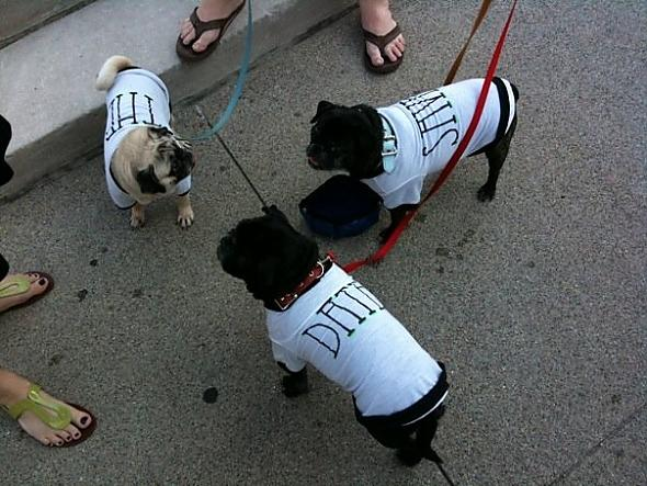 Our pugs dressed up for our engageme